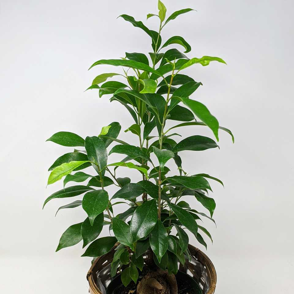 6-inch Ficus ginseng