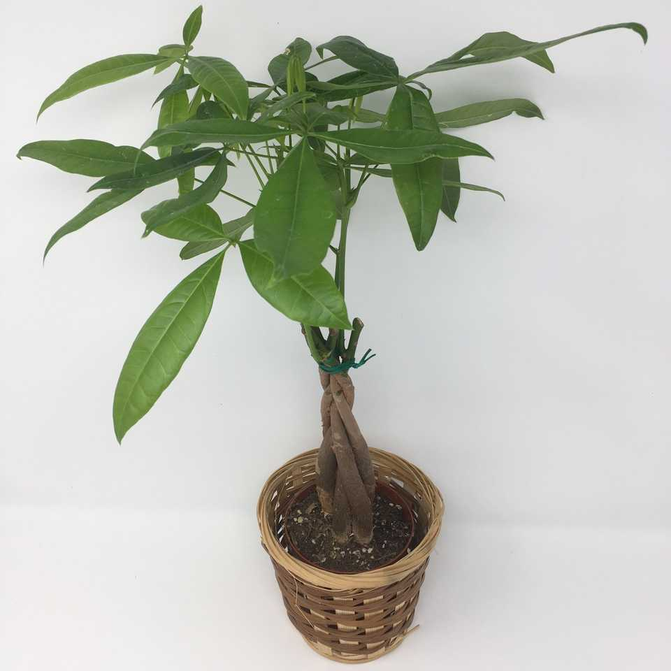 4-inch Money Tree