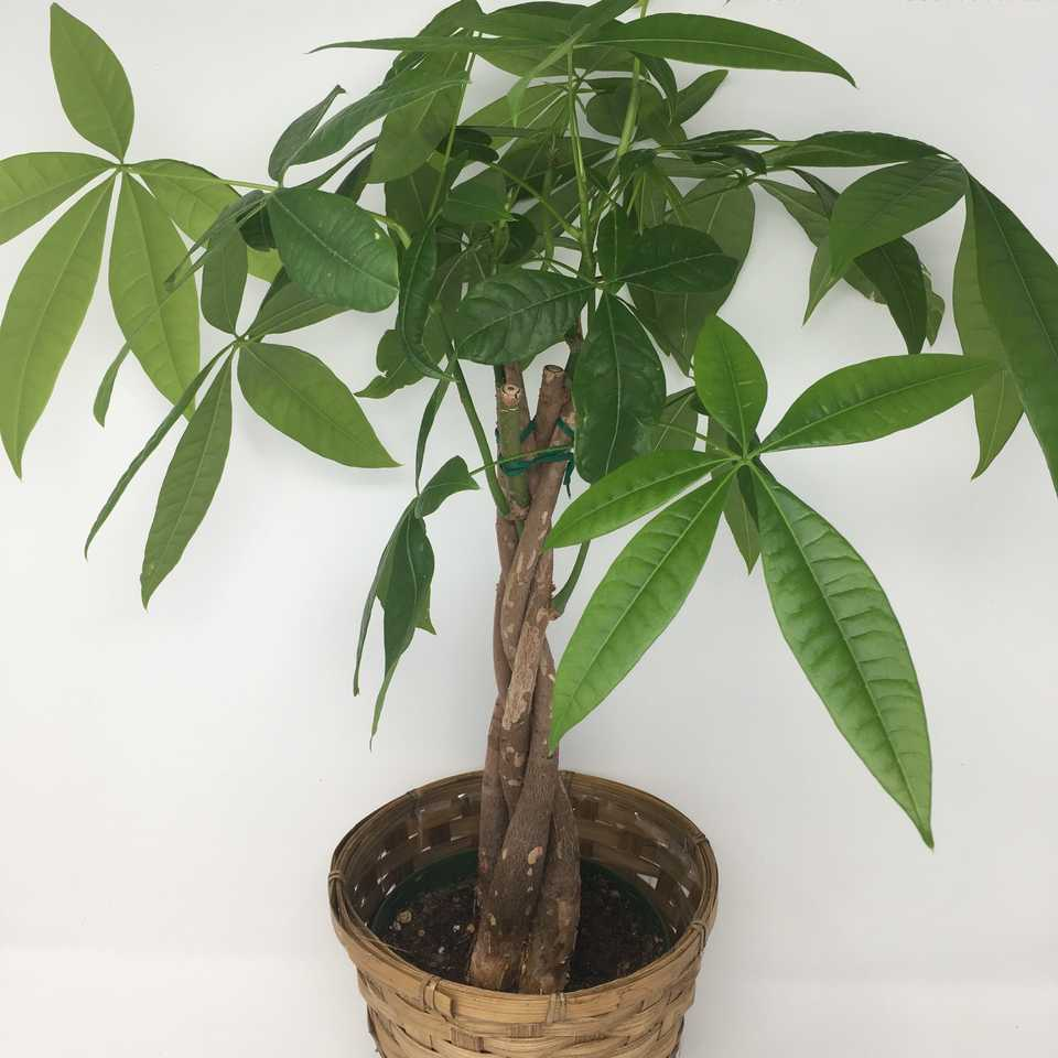6-inch Money Tree