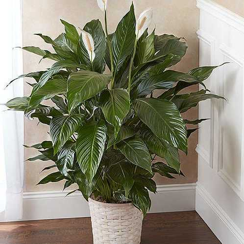 The 8 inch Peace Lilly