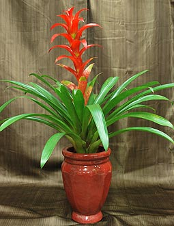 BROMELIAD PLANT IN AN UPGRADED POT -